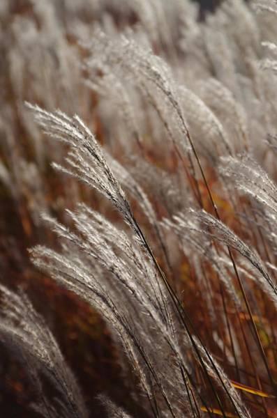 Windblown Grass Poster