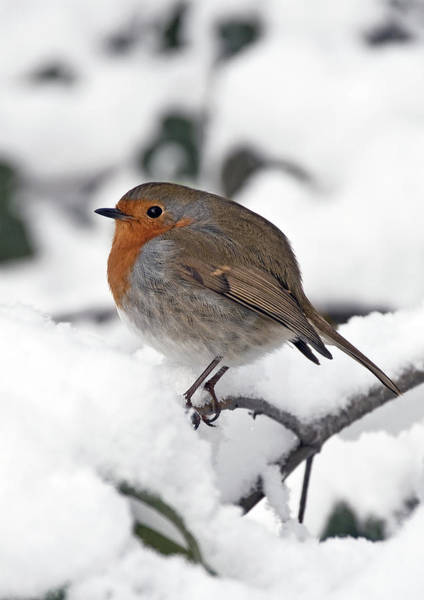 Poster featuring the photograph Winter Robin by Ross G Strachan