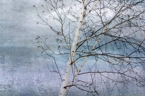 Winter White Birch  Poster