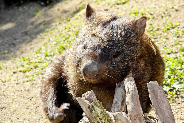 Poster featuring the photograph Wombat Scratching by Debbie Cundy