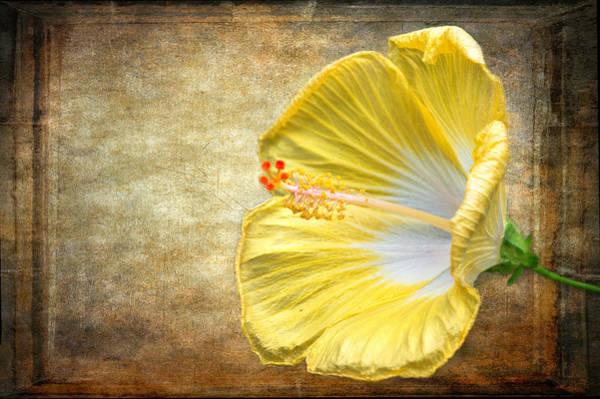 Poster featuring the photograph Yellow Hibiscus by Garvin Hunter