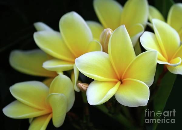 Yellow Plumeria Cascade Poster