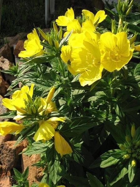 Yellow Primroses Poster