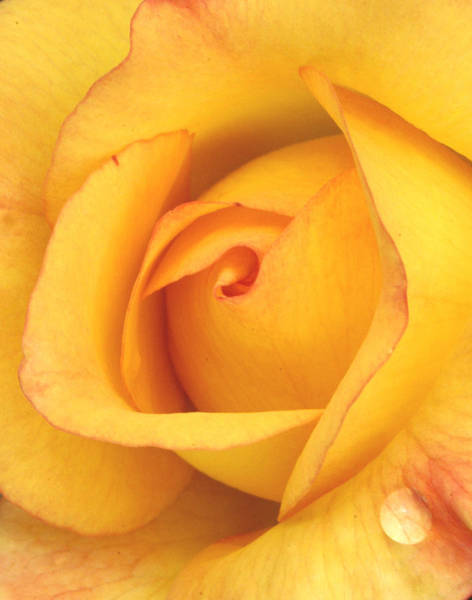 Yellow Rose Droplet Poster