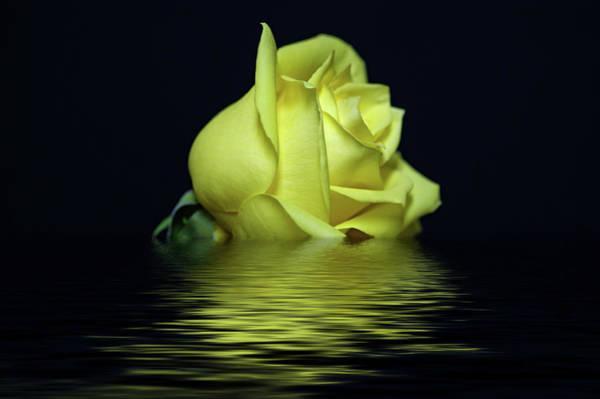 Yellow Rose II Poster