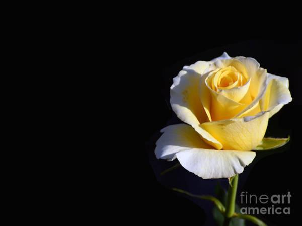 Yellow Rose On Black Poster