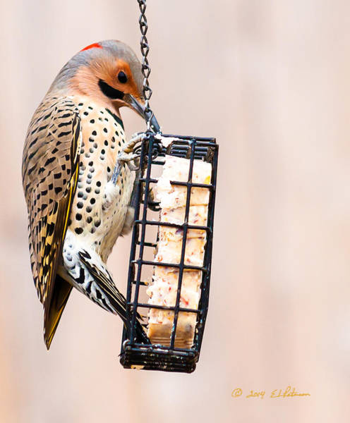 Poster featuring the photograph Yellow-shafted Northern Flicker Lunch by Edward Peterson