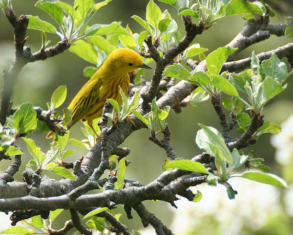 Yellow Warbler In Pear Tree Poster