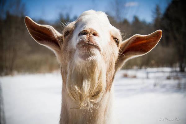'yoda' Goat Poster