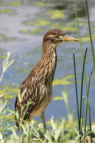 Poster featuring the photograph Young Heron by Shane Bechler