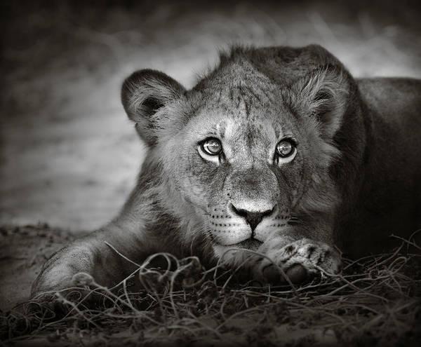 Young Lion Portrait Poster