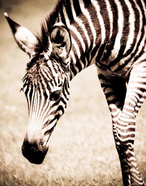 Zebra Foal Sepia Tones Poster