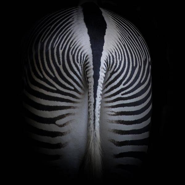 Poster featuring the photograph Zebra by Gigi Ebert