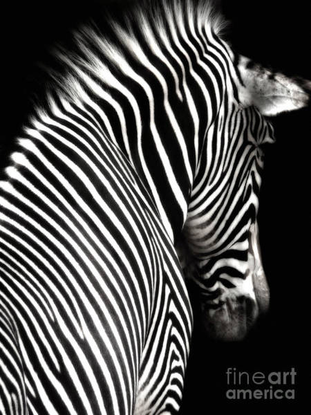 Zebra On Black Poster