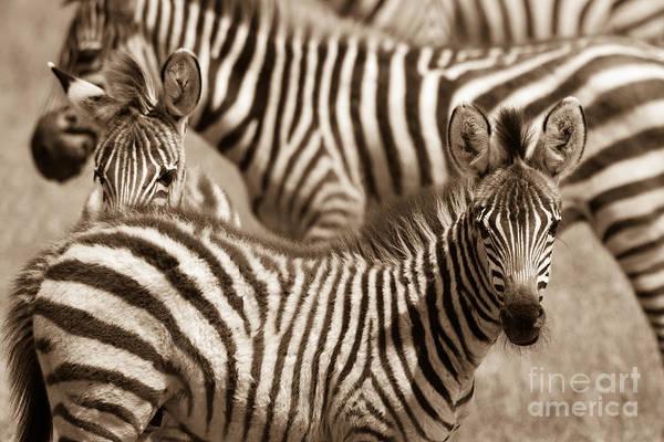 Zebra Stripes Galore Poster