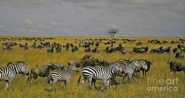 Zebras And Wildebeast   #0861 Poster
