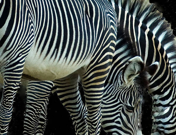 Poster featuring the photograph Zebras by Mae Wertz