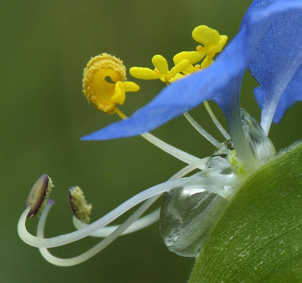 Close View Of Slender Dayflower Flower With Dew Poster