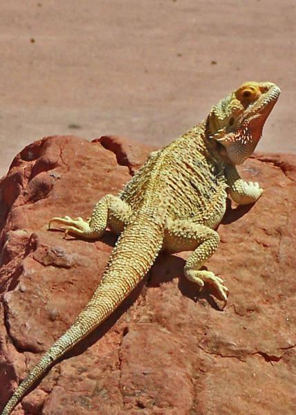 Horned Lizard Poster