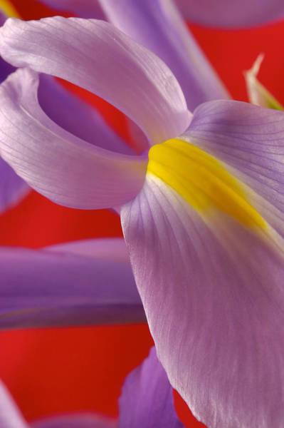 Photograph Of A Dutch Iris Poster