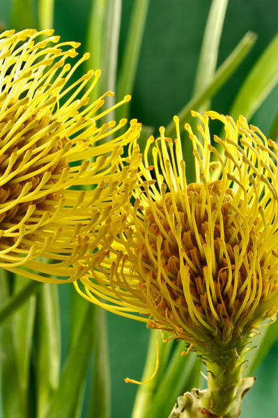 Picture Of A Pincushion Protea Poster