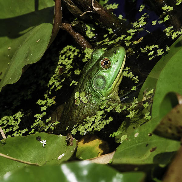 Rana Clamitans Or Green Frog Poster