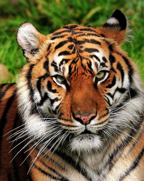 Sumatran Tiger Portrait Poster