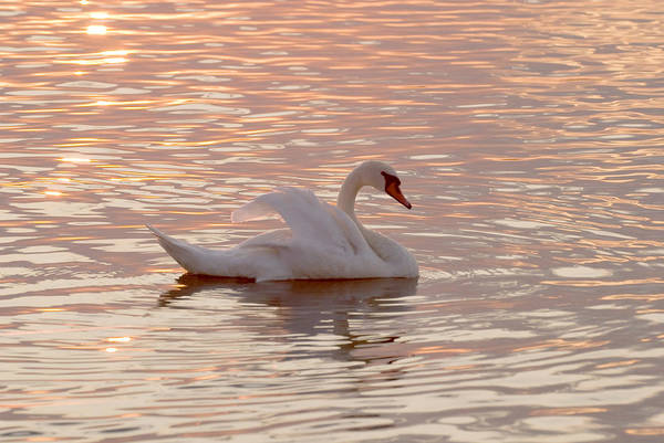Swan In The Lake Poster