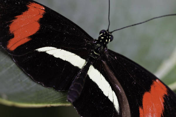 Postman Butterfly Poster