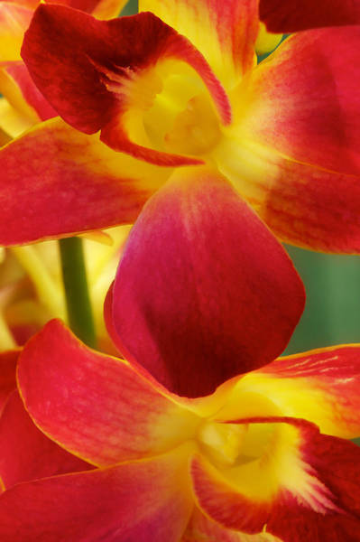 Dendribium Malone Or Hope Orchid Flower Poster