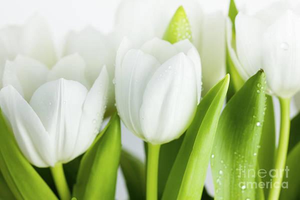 White Tulips Poster
