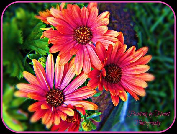 African Daisy Poster