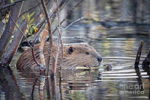 American Beaver Poster