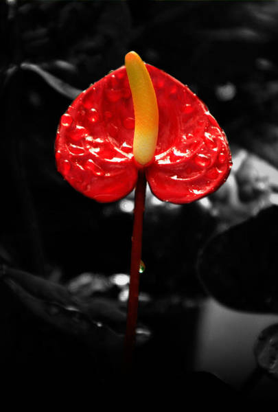 Anthurium Rising Poster