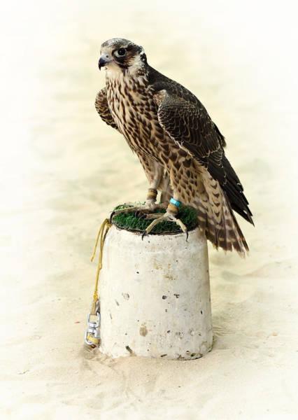 Arabian Hunting Falcon Poster