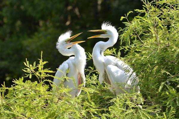 Baby Egrets Chattering Poster