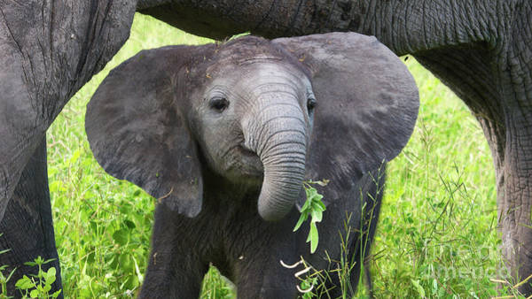 Baby Elephant With A Twig Poster
