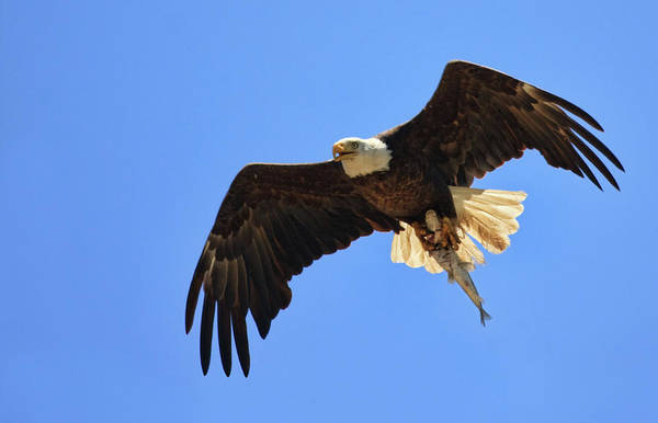 Bald Eagle Catch Poster