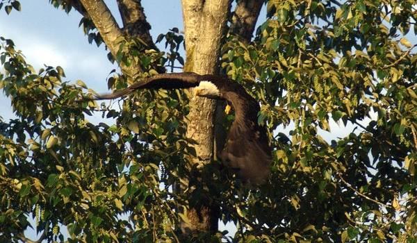 Bald Eagle Decending From Nest Poster