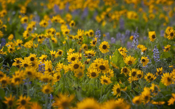 Balsamroot And Lupine Poster