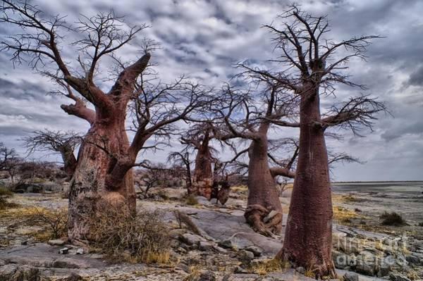 Baobab Trees At Kubu Island Poster