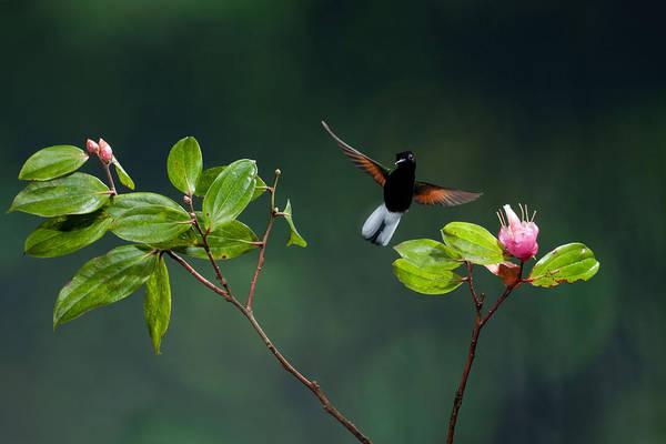 Black Bellied Hummingbird Poster