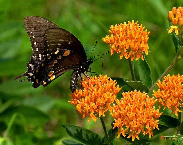 Black Swallowtail Visiting Butterfly Weed Din012 Poster