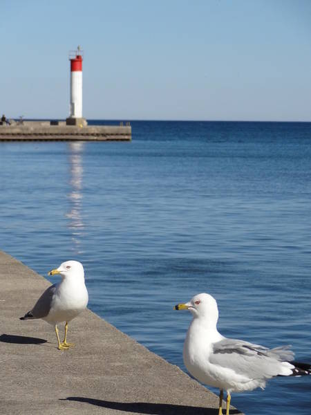 Bronte Lighthouse Gulls Poster