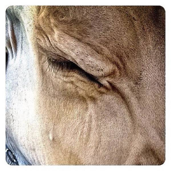 Brown Swiss Cow Poster