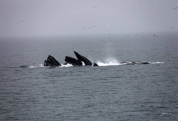 Bubble Netting Whales In Alaska Poster