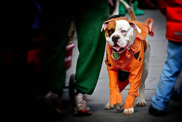 Bulldog In Orange Costume Poster