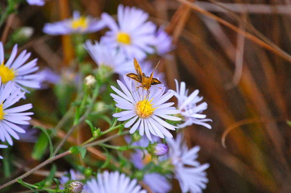 Butterfly And Aster Poster