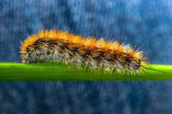 Butterfly Caterpillar Larva On The Stem Poster