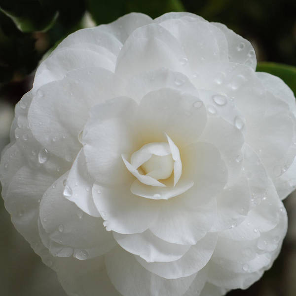 Camellia After Rain Storm Poster